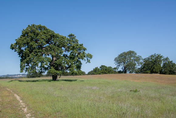 Lonely Valley Oak in Springtime
