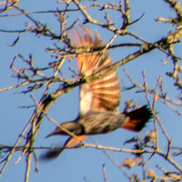 Northern Flicker (Colaptes auratus) Spreads its Wings
