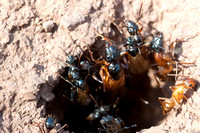 9/17/2011 Winged Camponotus Leave Nest