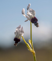 White Color Variant of Lowland Shooting Star (Primula clevelandii var. patula)