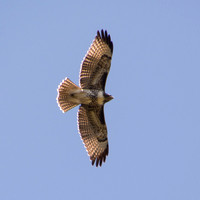 Red-tailed Hawk (Buteo jamaicensis) in Flight