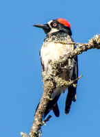 Female Acorn Woodpecker (Melanerpes formicovorus)