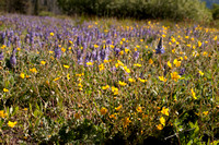 Field of Lupine and other Flowers