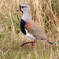 Southern Lapwing (Vanellus chilensis) = Tero Comun