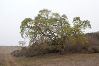 Valley Oak with New Growth