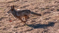 Running Coyote (Canis latrans)