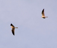 White-tailed Kites (Elanus leucurus) in Flight