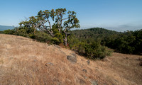 Three Species of Oak and a Toyon