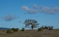 Lone Valley Oak (Quercus lobata) on Road F