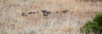 Flock of Wild Turkeys (Meleagris gallopavo)