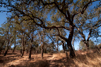 Blue Oak forest (Quercus douglasii) on Trail 10