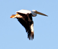 American White Pelican (Pelecanus erythrorhynchos) in Flight