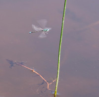 Blue Dragonfly in Flight