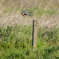 Male Western Bluebird (Sialia mexicana) Hunts from Trail Sign