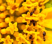 Winter Ants on Mule Ears Flower