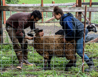 Moving a Sheep for Shearing