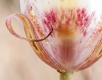 Clay Mariposa Lily (Calochortus argillosus) (Detail, with Insect)
