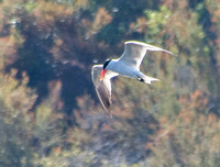 Caspian Tern (Sterna caspia) (?) in Flight
