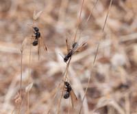 Winged Harvester Ants (Messor andrei) climb Grass