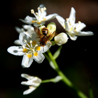 Honeybee on Flower of Fremont's Star Lily (Zigadenus fremontii)