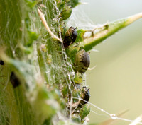 Aphids on Thistle
