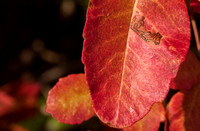 Leaf of Poison Oak (Toxicodendron diversilobum)