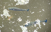 Two Fish in Searsville Lake