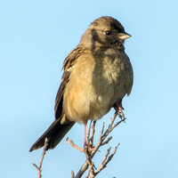Sparrow in Poison Oak