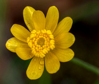 California Buttercup (Ranunculus californicus) Flower