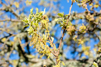 Catkins of Valley Oak (Quercus lobata)