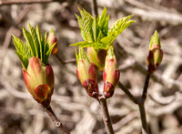 Buckeye Buds with Leaves