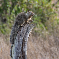 California Ground Squirrel (Otospermophilus beecheyi) on Stump