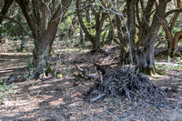 Woodrat Nests among the Olive Trees