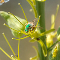 Native Fly on Flowers at Jackrabbit Springs