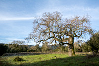 Valley Oak (Quercus lobata)