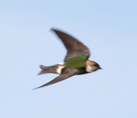 Violet-green Swallow D (Tachycineta thalassina) (??) in Flight -- or is this a Northern Rough Wing?