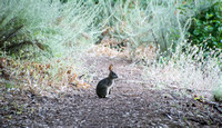 Brush Rabbit (Sylvilagus bachmani)
