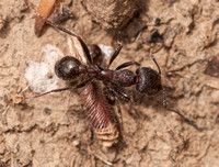 Ant Hurries over Seed