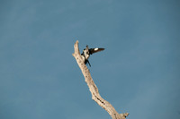 Mating Woodpeckers