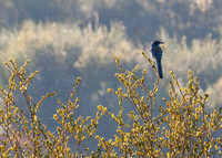 Western Scrub Jay (Aphelocoma californica) and Flying Insects