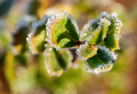 Coyote Brush in Frost