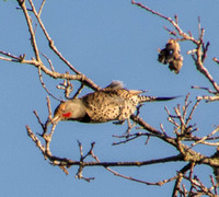 Northern Flicker (Colaptes auratus) Takes Off